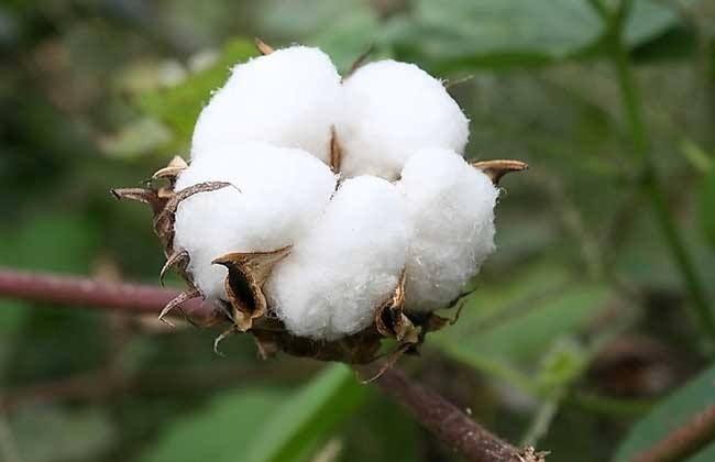 郑棉期货最新消息 郑棉期价上涨主要原因有哪些